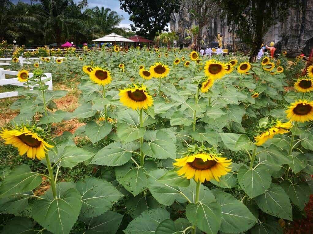 Sun Flower Garden / Khao Thanan